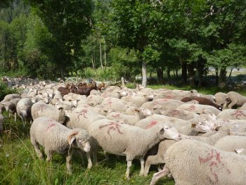 Transhumance in de Provence